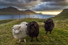 Faroese sheep in Gøtuvík inlet, Eysturoy, Faroe Islands