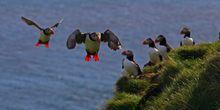Grimsey Island puffins landing off Drangsnes, Westfjords