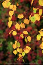 Icelandic birch in autumn, Dimmuborgir