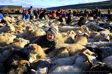 Icelandic sheep roundup at Vatnsdalur, September 2015