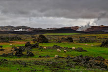 Sheep grazing in Autumn in northern Iceland