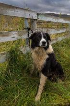 Icelandic dog at the annual sheep roundup in Svinavatn, Iceland