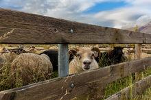 Annual autumn sheep roundup and sorting in Svinavatn, Iceland