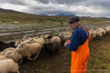 Icelandic farmer sorts sheep at the annual autumn sheep roundup in Svinavatn, Iceland