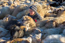 Icelandic boy jostles with sheep at the annual autumn sheep roundup in Svinavatn, Iceland
