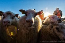 Annual autumn sheep roundup in Svinavatn, Iceland
