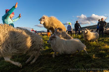 Sheep running and leaping at the annual autumn sheep roundup in Svinavatn, Iceland