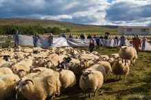 Annual Autumn sheep roundup in the Vatnsdalur Valley in Iceland