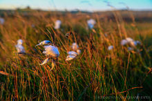Cottongrass blowing in the Autumn breeze in northern Iceland