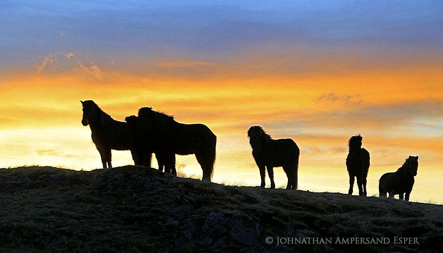 Icelandic horse at sunrise at Hoffel farm, near Hoffellsjökull, eastern Iceland, East Iceland