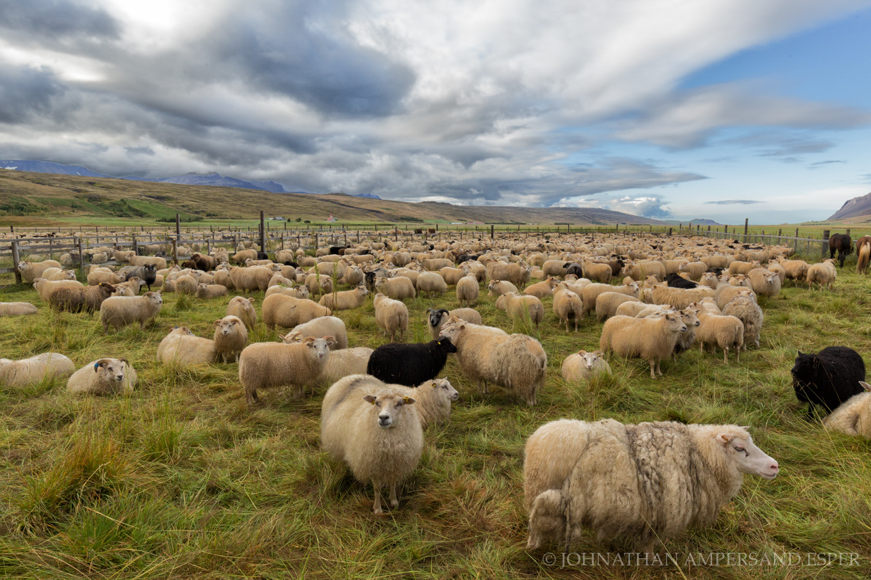 Iceland, autumn,sheep roundup,Icelandic sheep,Icelandic,sheep,annual,fall, photo
