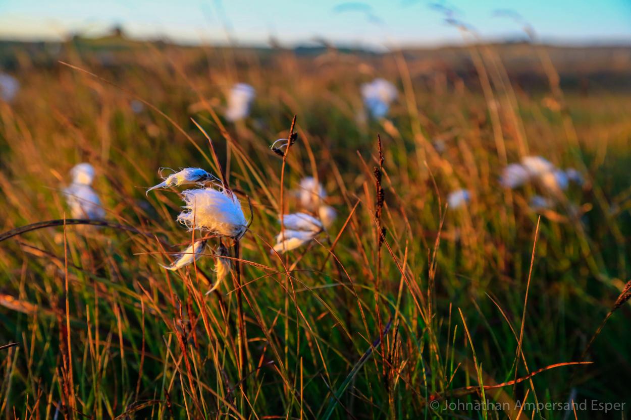 Iceland, autumn,cottongrass, photo